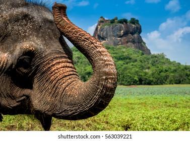 Elephant in famous Sigiriya rock fortress in Srilanka