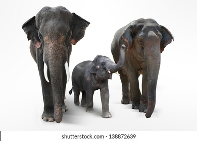 Elephant. father and Mother with Baby Elephants Walking on white background