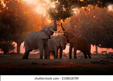 Elephant feeding tree branch. Elephant at Mana Pools NP, Zimbabwe in Africa. Big animal in the old forest. evening light, sun set. Magic wildlife scene in nature.
