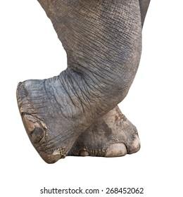 Elephant foot, isolated on white background.