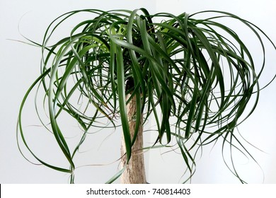 Elephant foot plant (Beaucarnea recurvata) upclose