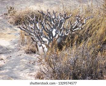 Elephant Foot Plant (Pachypodium Rosulatum) in Isalo National Park, Madagascar