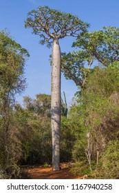 Elephant Foot tree at Reniala tree.