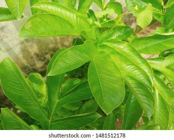 Elephant foot yam tree leaves