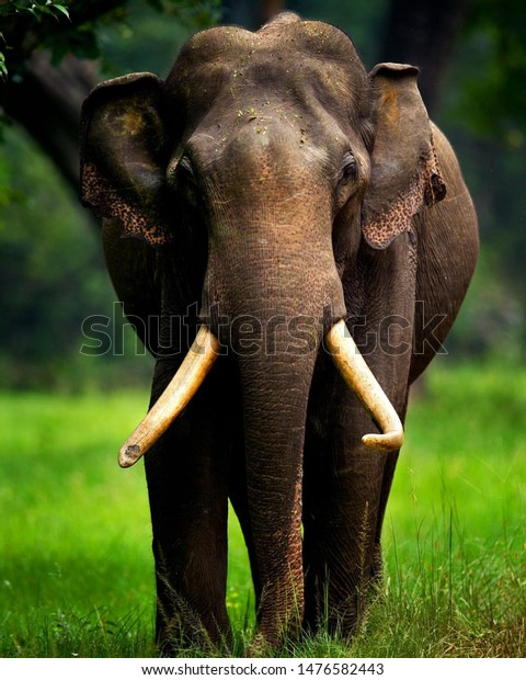 Elephant Forest Big Elephant Hathi Elephant Animals