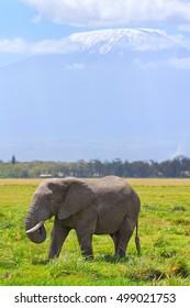 Elephant in front of Kilimanjaro at the background shot at Amboseli national park, Kenya