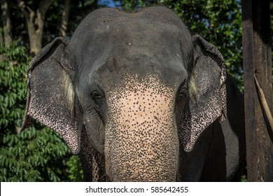 Elephant frontal close up