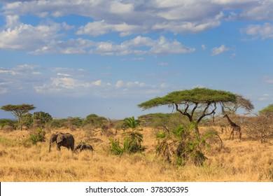 An Elephant and Giraffe under acacia tree in the African savannah  - Safari in Kenya and Tanzania