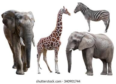 elephant ,giraffe and  zebra isolated on white.  african animals