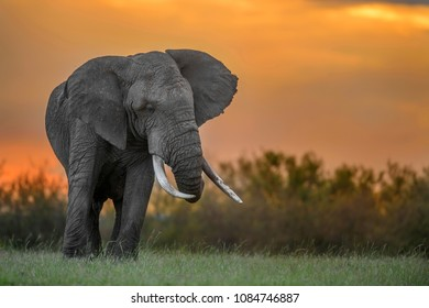 Elephant in the Golden Background of Sunset