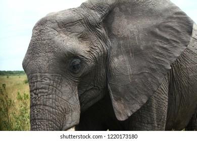 Elephant grazing near Masai Mara - Closeup