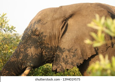 An elephant grazing on a small tree