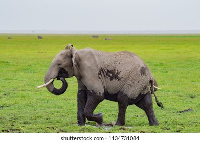 Elephant half immersed in the marshes of Amboseli Park in Kenya