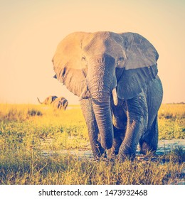 Elephant half wet in sunset light in Africa with retro style filter effect
