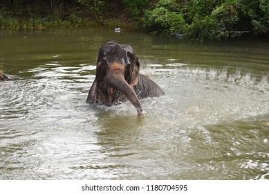 Elephant having a bath in Sigiriya,Sri Lanka