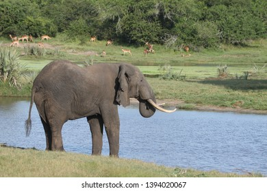 An elephant having a drink at a waterhole