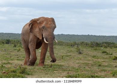 Elephant having a scroll walk in the field