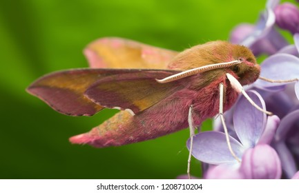 Elephant hawk moth, deilephila elpenor resting on lilac, macro photo