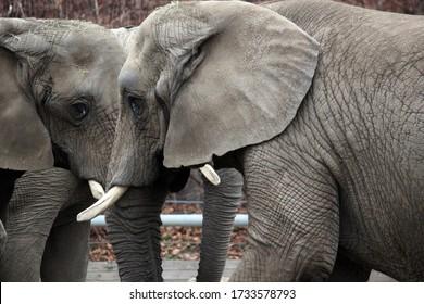 elephant head closeup eye and ears pair of elephants head face  stock photo