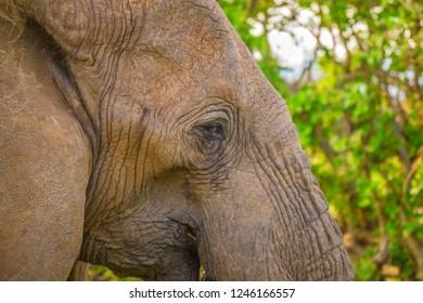 Elephant head eye close up