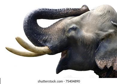 Elephant head isolated on white background
