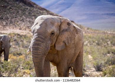 an Elephant heading towards the fotographer, closeup