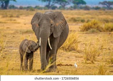 Elephant and her baby walking through Amboseli National Park