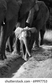 Elephant herd and calf in black and white