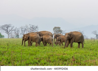 Elephant Herd grazing in a grassland in Jim Corbett National Park