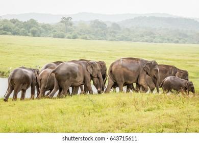Elephant herd grazing at Minneriya National Park, Sri Lanka