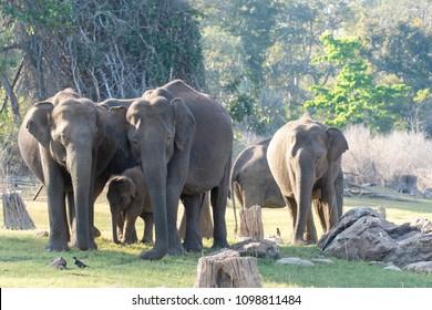 Elephant herd inside kabini tiger reserve protecting their calf