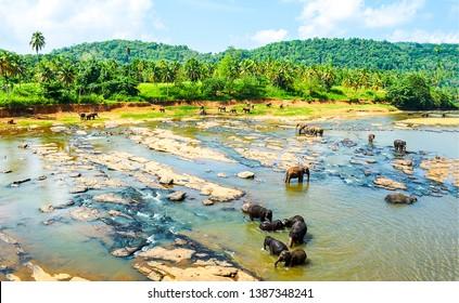 Elephant herd in jungle river water. Jungle river elephant herd washing. Elephant herd river washing view. Elephant herd in jungle river washing