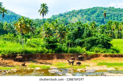 Elephant herd on jungle river. Jungle river elephant herd washing. Elephants on jungle river. Elephant family at jungle river