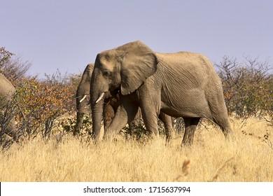 Elephant herd protecting the babies, Damaraland, Namibia