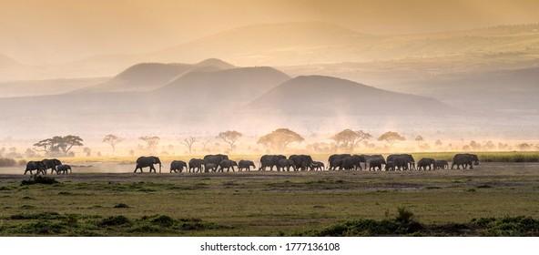 Elephant herd in savannah panorama. Elephants in savannah. Elephant herd panoramic landscape