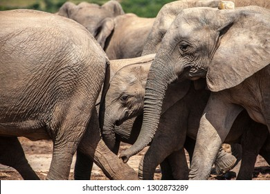 elephant herd in the south african savannah, approaching a water hole