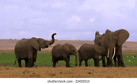 Elephant herd at a swamp in Amboseli Kenya