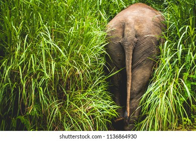 Elephant hiding in bamboo grass. Showing his big animal ass.