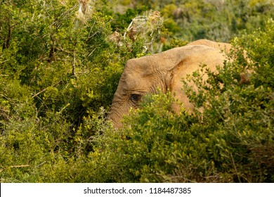 Elephant hiding between all the bushes in the field