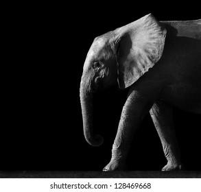 Elephant Isolated on a Black Background
