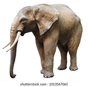 Elephant. Isolated on white background.