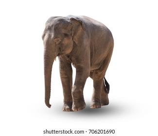 Elephant isolated on a white background.