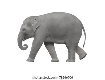 Elephant isolated on white background