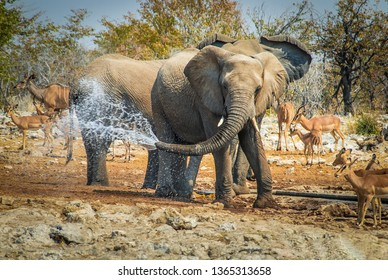 Elephant jokes with water in his trunk Etosha National Park, Namibia, Africa