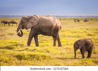 Elephant and elephant. Kenya. Safari in Africa. African elephant. Animals of Africa. Travel to Kenya. Family of elephants.