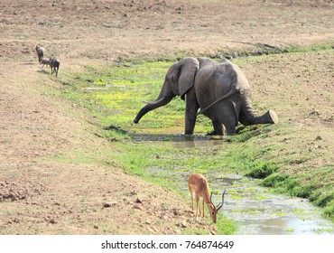 Elephant kneeling to take a drink with a puku in the foreground and warthogs in the background.  South Luangwa National Park, Zambia Southern Africa