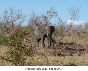 Elephant in Kruger National Park during Drought