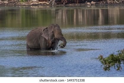 Elephant in a lake splashing water around