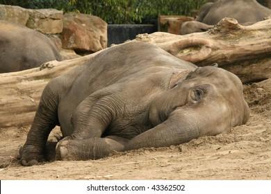Elephant laying on the ground