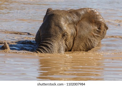 Elephant laying in the water and lifting his trunk